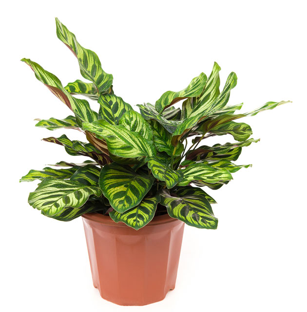 Kalateja.  A safe plant for dogs and cats